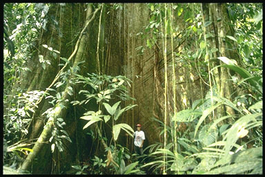 big tree; Actual size=240 pixels wide