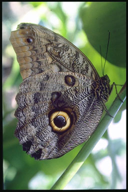 butterfly; Actual size=240 pixels wide
